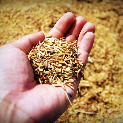jasmine rice seed farmer hand